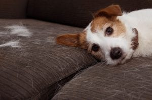 A small dog laying down on a hair-covered couch